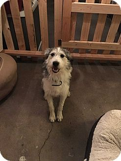 Sheltie, Shetland Sheepdog/Bearded Collie Mix Dog for adoption in Los Angeles, California - Cowboy