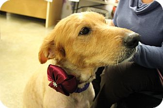Golden Retriever/Chow Chow Mix Dog for adoption in Indiana, Pennsylvania - BLONDIE
