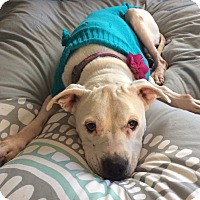 Pit Bull Terrier/Boxer Mix Dog for adoption in Newtown, Connecticut - Iris