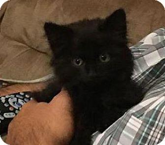 Domestic Mediumhair Kitten for adoption in Menifee, California - Tiana