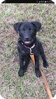 Labrador Retriever Mix Puppy for adoption in Mary Esther, Florida - Chanel