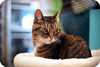Domestic Shorthair Cat for adoption in Los Angeles, California - Grace
