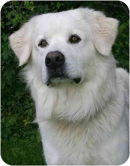 Great Pyrenees/Chow Chow Mix Dog for adoption in Ladysmith, Wisconsin - Buster