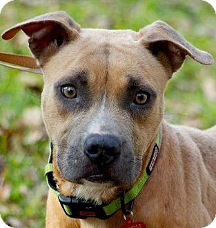 American Pit Bull Terrier Mix Dog for adoption in Houston, Texas - Kale