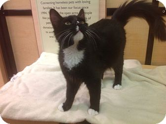 Domestic Mediumhair Cat for adoption in Westley, California - Dandy
