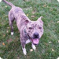 Adopt A Pet :: Mazy - Villa Park, IL
