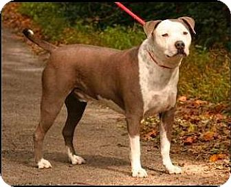 American Bulldog/Staffordshire Bull Terrier Mix Dog for adoption in Manhattan, New York - DENALI