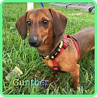 Adopt A Pet :: Gunther - Hollywood, FL