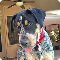 Adopt A Pet :: Bo Duke - Scottsdale, AZ