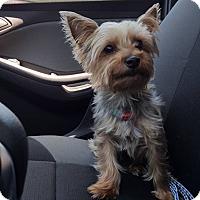 Adopt A Pet :: Faith - Bristol, CT