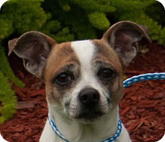 Jack Russell Terrier Mix Dog for adoption in boston, Massachusetts - Pistachio