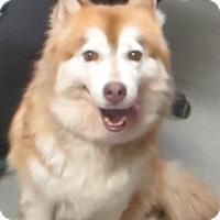 Adopt A Pet :: Alaskan Malamute - Lincolnton, NC