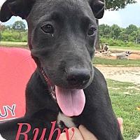 Adopt A Pet :: Ruby - Jay, NY