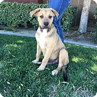 Mastiff/Shepherd (Unknown Type) Mix Puppy for adoption in Bakersfield, California - Barney