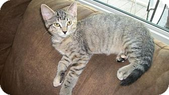 Domestic Shorthair Kitten for adoption in Lacon, Illinois - Blair
