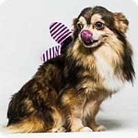 Adopt A Pet :: Tic - Yelm, WA