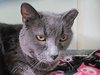 Domestic Shorthair Cat for adoption in Cumberland, Maine - Slate