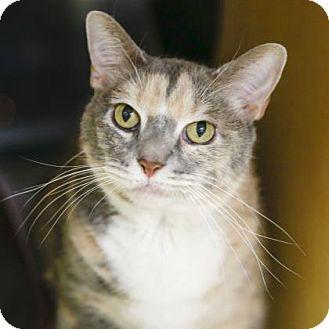 Siamese Cat for adoption in Kettering, Ohio - Cloche