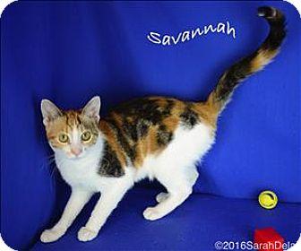 Domestic Shorthair Cat for adoption in Sherwood, Oregon - Savannah