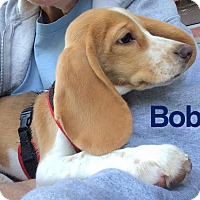 Adopt A Pet :: Bob - House Springs, MO