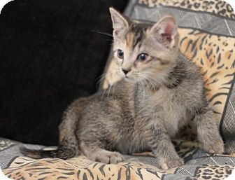 Domestic Shorthair Kitten for adoption in Concord, North Carolina - Taffy