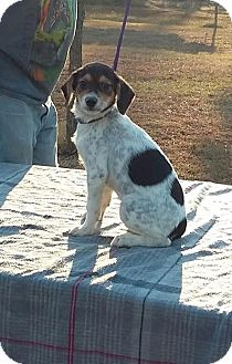Fox Terrier (Wirehaired) Mix Puppy for adoption in Carthage, North Carolina - Boris Karloff