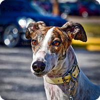 Adopt A Pet :: Extrem Vampire - Sarasota, FL