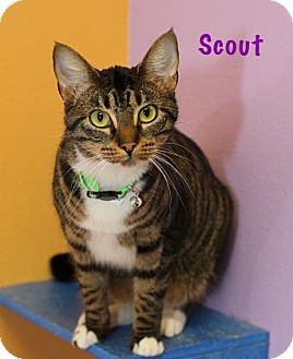 Domestic Shorthair Cat for adoption in Baton Rouge, Louisiana - Scout