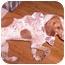 Photo 1 - Coonhound/Redtick Coonhound Mix Dog for adoption in Bernardsville, New Jersey - Harley URGENT
