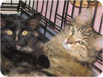Domestic Mediumhair Cat for adoption in Roseville, Minnesota - Amber and Rachel