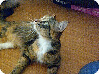 Domestic Longhair Cat for adoption in Escondido, California - Sofia