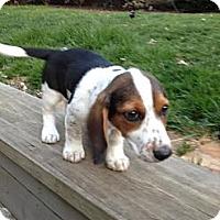Adopt A Pet :: Four Roses - Brattleboro, VT