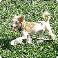 Adopt A Pet :: Lil Bear - Meridian, ID