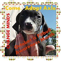 Adopt A Pet :: Axle - Peru, IN