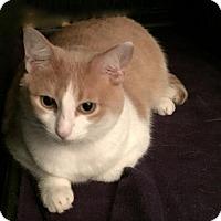Adopt A Pet :: Prada - Hurst, TX