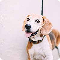 Adopt A Pet :: Sir Barkston - Chino Hills - Chino Hills, CA