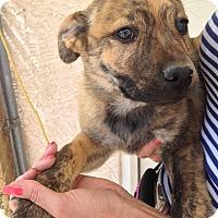 Adopt A Pet :: Chubbs - Phoenix, AZ