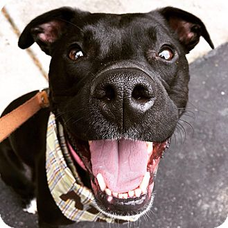 Pit Bull Terrier Mix Dog for adoption in Nashville, Tennessee - Calla