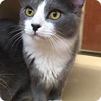 Domestic Shorthair Cat for adoption in Morganton, North Carolina - Whiskey