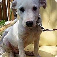 Adopt A Pet :: Caleb - Manhattan, KS
