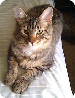 Maine Coon Cat for adoption in Alva, Oklahoma - Habanero
