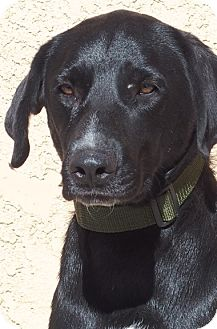 German Shorthaired Pointer/Labrador Retriever Mix Dog for adoption in Los Angeles, California - Mosey *no kids under 12