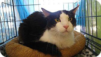 Domestic Mediumhair Kitten for adoption in Dallas, Texas - Sammie Ada - Courtesy Post