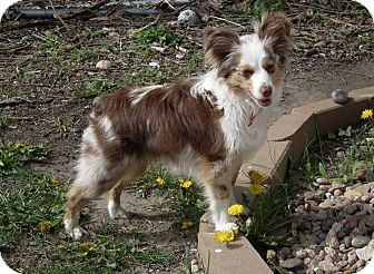 Australian Shepherd Dog for adoption in Minneapolis, Minnesota - Lollie