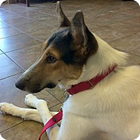 Collie Dog for adoption in Sugar Land, Texas - Huck