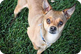 Chihuahua Dog for adoption in Salt Lake City, Utah - Regal