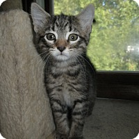 Adopt A Pet :: Pharaoh - Milwaukee, WI