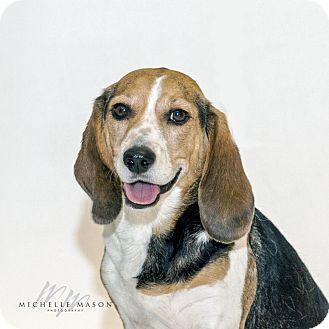 Beagle Mix Dog for adoption in Naperville, Illinois - Bella