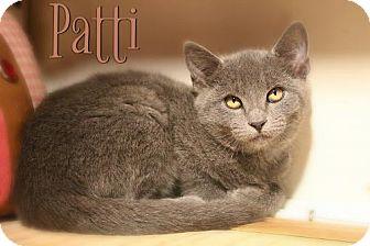 Russian Blue Kitten for adoption in Benton, Louisiana - Patti