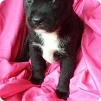 Adopt A Pet :: Vera - Olympia, WA